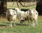 Farming sheep GRT-SO10-gulf-coast-sheep