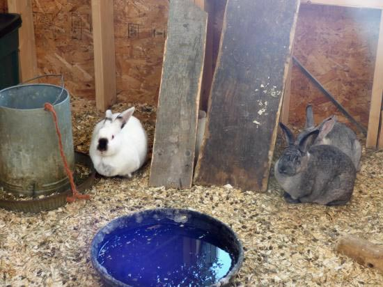 Rabbits in Colonies
