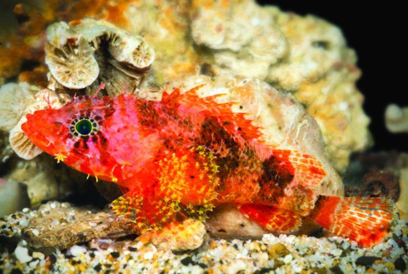 Vibrantly Colored 'Starburst' Scorpionfish Discovered